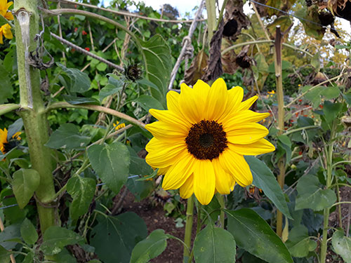 Stress relief sunflower by Mobile Reiki Brighton